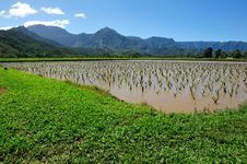 Taro Field In Kauai Hawaii, USA Stock Image
