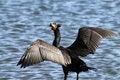 Free Cormorant Stock Photo - 23545940