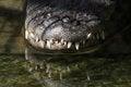 Free Alligator Stock Photography - 23546012