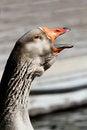 Free Talking Goose Stock Photos - 23546043