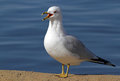Free Sea Gull Royalty Free Stock Image - 23546316