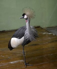 Free Crowned Crane Stock Photos - 23544853