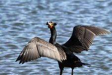 Free Cormorant Stock Photo - 23545940