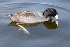 Free Coot Stock Photos - 23546093