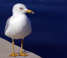 Free Sea Gull Royalty Free Stock Photography - 23546347