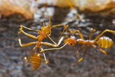 Free Red Weaver Ants Stock Image - 23548031