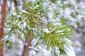 Free Snow On Pine Needles. Stock Photography - 23552732