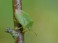 Free Green Shield Bug Royalty Free Stock Photography - 23555117