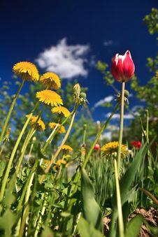 Free Dandelion Tulip Royalty Free Stock Photos - 23551768