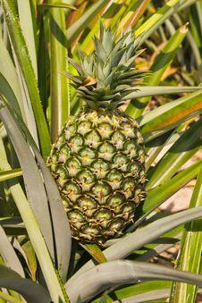 Free Pineapple Royalty Free Stock Photo - 23551995