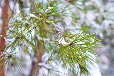 Snow On Pine Needles. Stock Photography