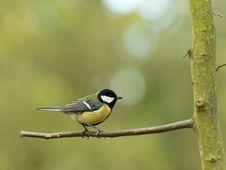 Free Great Tit Stock Images - 23554294