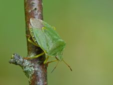 Free Green Shield Bug Royalty Free Stock Photography - 23555117