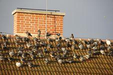 Flock Of Pigeons Stock Photos