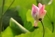 Free Lotus Stock Photo - 23557420