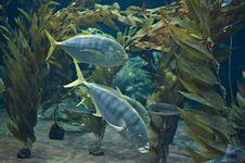 Free Yellow Tail Fish Stock Photos - 23559153