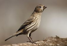 Free Female House Finch Stock Photos - 23564463