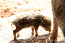Free Wild Pig Royalty Free Stock Photos - 23567418