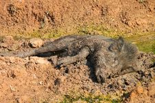 A Wild Pig Is Playing Mud Royalty Free Stock Photo