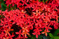 Free Bunch Of Red Ixora Stock Images - 23574084