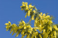 Free Mimosa Flowers On Plant Royalty Free Stock Photos - 23576658