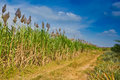 Free Joint Plantation Stock Photo - 23577370