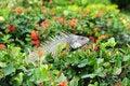 Free Iguana. Stock Images - 23578764