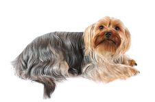 Portrait Of Yorkshire Terrier Isolated On White Royalty Free Stock Photography