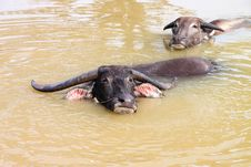 Free Buffalos Are Relax Playing On Pond Royalty Free Stock Photo - 23576875