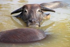 Free Buffalos Are Relax Playing On Pond Royalty Free Stock Photo - 23576925