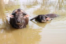 Free Buffalos Are Relax Playing On Pond Royalty Free Stock Photos - 23576978