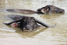Free Buffalos Are Relax Playing On Pond Stock Image - 23577211
