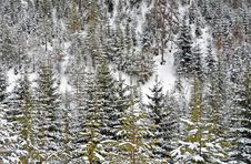 Free Snow Forest Stock Photo - 23579070
