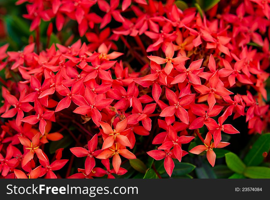 Bunch of red Ixora