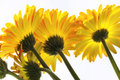 Free Vibrant Yellow And Orange Gerber Daisy Stock Photo - 23585970