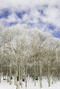 Free Aspen Trees In Snow. Royalty Free Stock Photo - 23585975