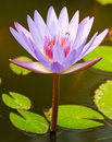 Free The Lotus Is Violet Royalty Free Stock Image - 23586876