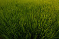 Free Rice Field Royalty Free Stock Images - 23587649