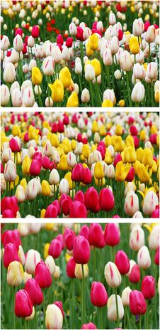 Free Tulip Collage Royalty Free Stock Image - 23580696