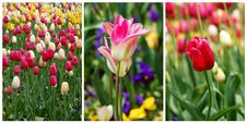 Free Tulip Collage Royalty Free Stock Image - 23580726