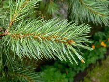 Free Pine Twig Stock Photo - 23580770