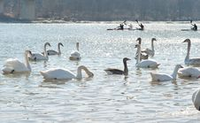 Free Swans On A Cold River Royalty Free Stock Photo - 23582035