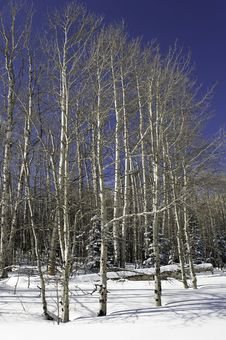 Free Aspen Grove In Winter. Royalty Free Stock Photography - 23585957