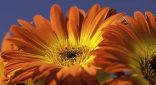 Free Vibrant Yellow And Orange Gerber Daisy Stock Photo - 23585960