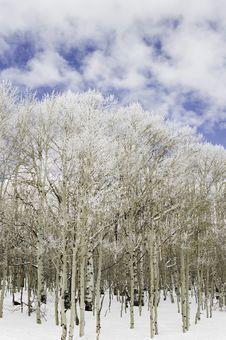 Aspen Trees In Snow. Royalty Free Stock Photo