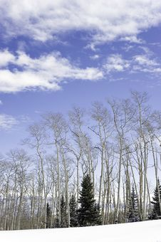 Free Aspen Trees,clouds. Royalty Free Stock Photos - 23585998