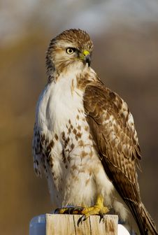 Free Red-tailed Hawk Portrait Stock Photography - 23586162