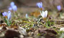 Free Crocus Royalty Free Stock Photo - 23588605