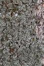 Free Tree Bark Texture Royalty Free Stock Photos - 23595678