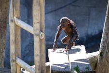 Free Baby Chimpanzee Stock Photo - 23592240
